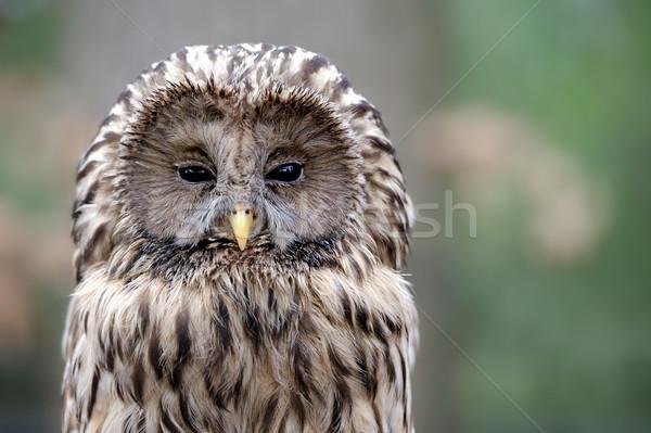 Owl Stock photo © byrdyak