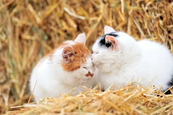 кошки соломы мало киска лице любви Сток-фото © byrdyak