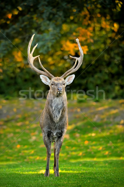 Stock photo: Beautiful image of red deer