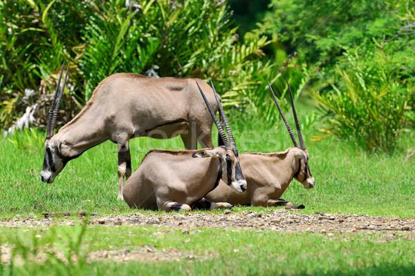 Gemsbok family on grass Stock photo © byrdyak