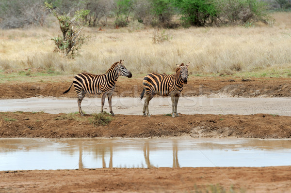 Zebra afrika park Kenia gras paard Stockfoto © byrdyak