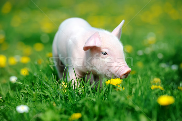 Young pig in grass Stock photo © byrdyak