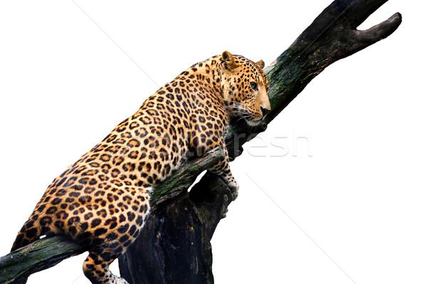 Leopard Isolated on White Background Stock photo © byrdyak