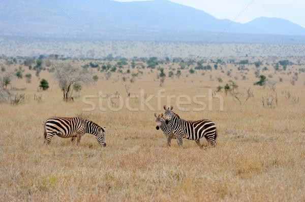 Zebra Stock photo © byrdyak