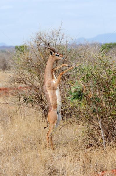 立って に達する 葉 公園 ケニア アフリカ ストックフォト © byrdyak