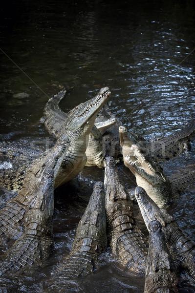 Csoport krokodil folyó támadás víz természet Stock fotó © byrdyak