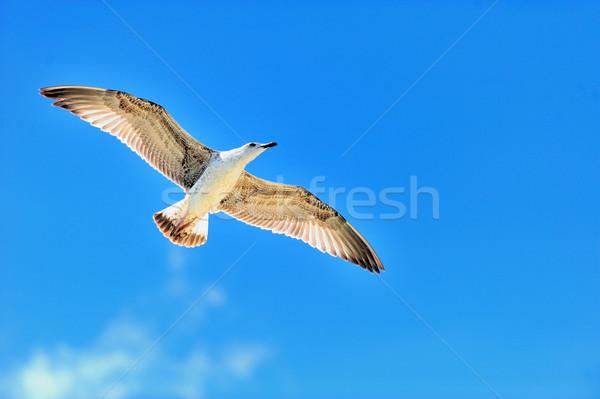 Seagull flying on blue sky Stock photo © byrdyak
