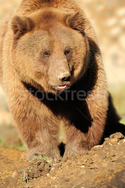 Groot bruine beer natuur ogen zomer Stockfoto © byrdyak