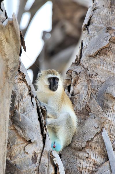 Aap drie apen park boom gezicht Stockfoto © byrdyak