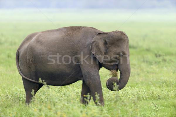 Elefantes parque Sri Lanka bebê fundo pele Foto stock © byrdyak