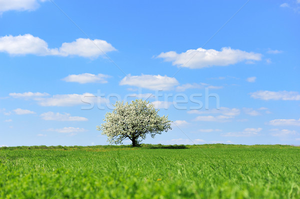 Blossoming tree in spring Stock photo © byrdyak