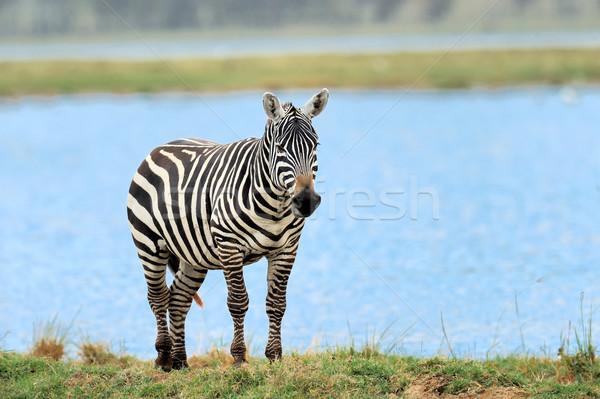 ストックフォト: シマウマ · 湖 · 公園 · アフリカ · ケニア · 自然