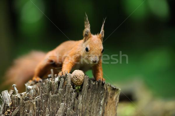 écureuil noix rouge arbre oeil forêt Photo stock © byrdyak