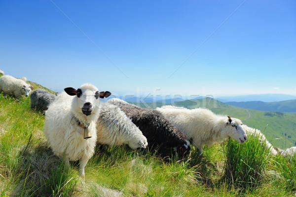 Schapen berg vallei boom wolken Stockfoto © byrdyak