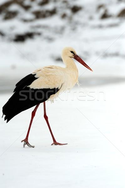 Stork Stock photo © byrdyak