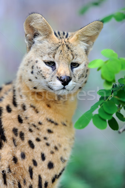 Serval cat (Felis serval) Stock photo © byrdyak