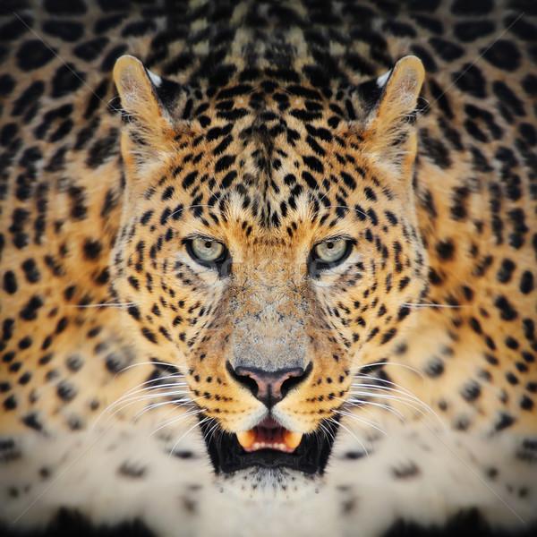 Leopard primo piano selvatico ritratto buio faccia Foto d'archivio © byrdyak