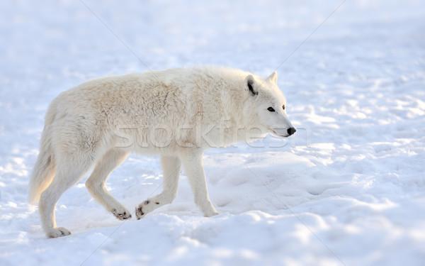 Сток-фото: волка · красивой · белый · зима · лице