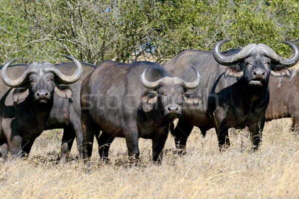 Wild African buffalo bull Stock photo © byrdyak
