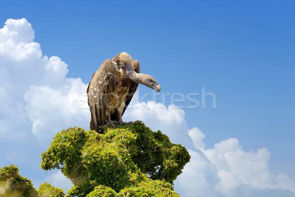 árvore parque Quênia olho natureza Foto stock © byrdyak