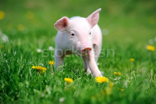 молодые свинья трава весны зеленая трава лет Сток-фото © byrdyak