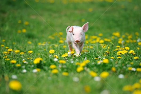 Jonge varken groen gras voorjaar natuur zomer Stockfoto © byrdyak