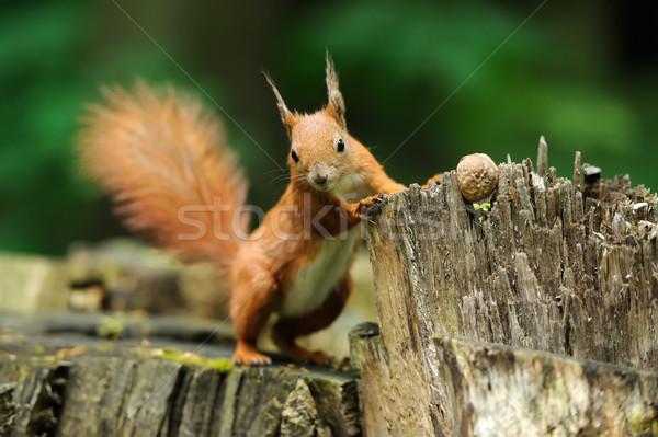 Mókus diók piros fa szem erdő Stock fotó © byrdyak