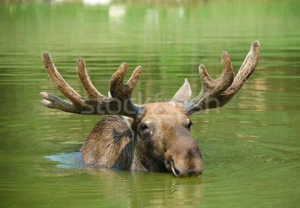 Kanada geyiği yüzme göl manzara portre geyik Stok fotoğraf © byrdyak