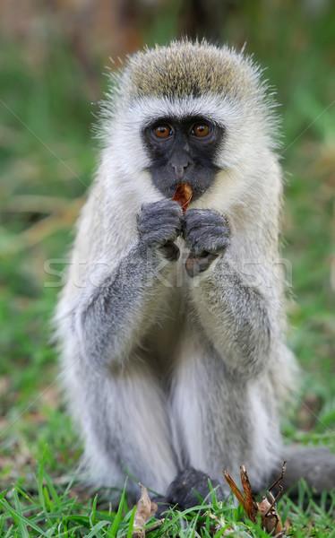 Stock fotó: Majom · három · majmok · park · fa · arc