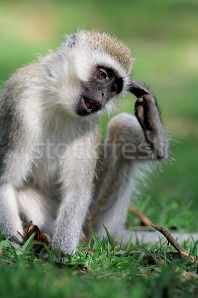 Majom három majmok park fa arc Stock fotó © byrdyak