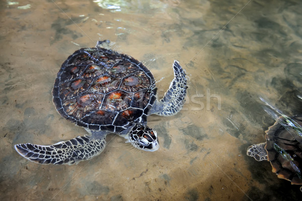 カメ ビーチ スリ·ランカ 島 自然 ストックフォト © byrdyak