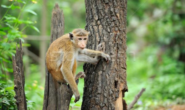 обезьяны жизни природы стране Шри Ланка ребенка Сток-фото © byrdyak