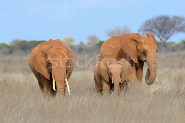 Fil park Kenya Afrika bebek çim Stok fotoğraf © byrdyak