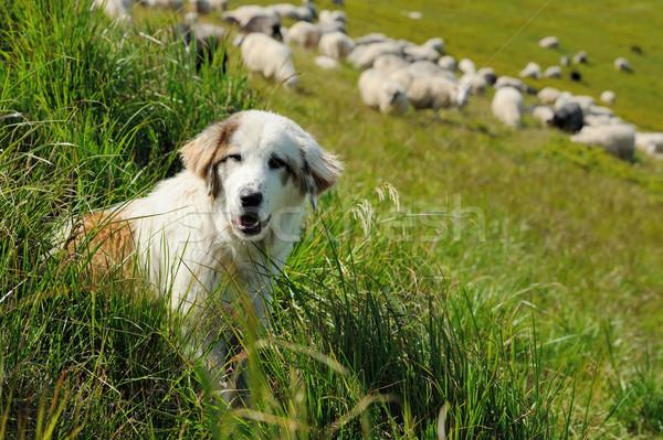 Herdershond schapen kudde landschap zomer Stockfoto © byrdyak