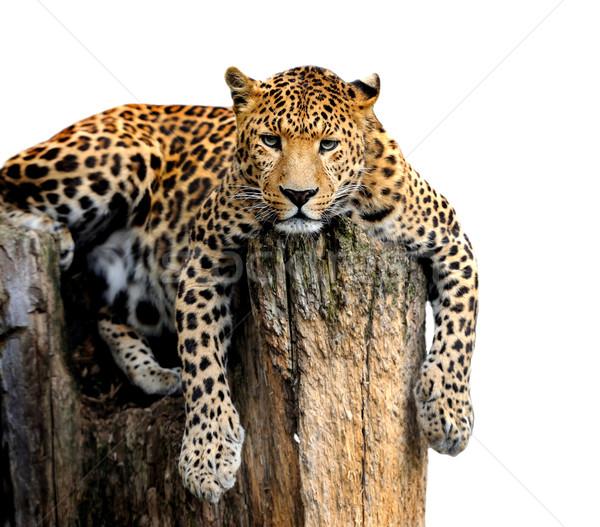 Leopardo isolado branco natureza gato espaço Foto stock © byrdyak