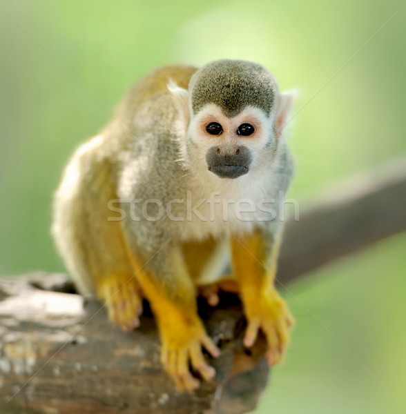Close-up of a Common Squirrel Monkey Stock photo © byrdyak