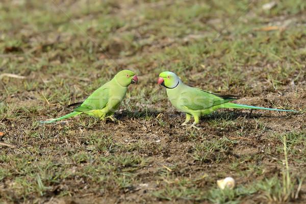 Rose-ringed Parakeet Stock photo © byrdyak