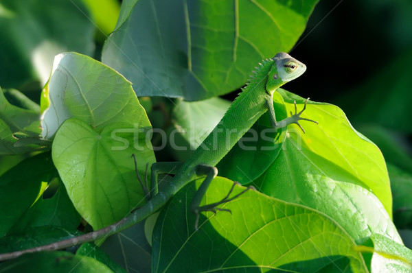 Camaleão verde Sri Lanka bebê fundo Foto stock © byrdyak