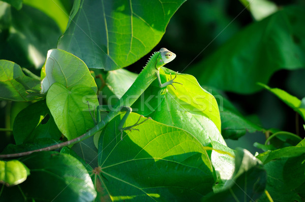 Chameleon at tree branch Stock photo © byrdyak
