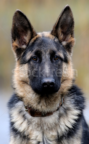 German shepherd dog portrait Stock photo © byrdyak