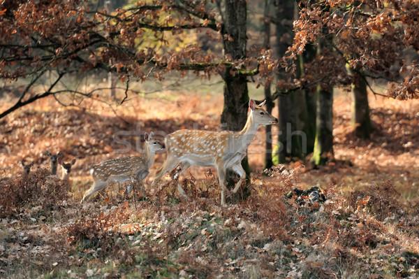 Whitetail Deer standing in autumn day Stock photo © byrdyak