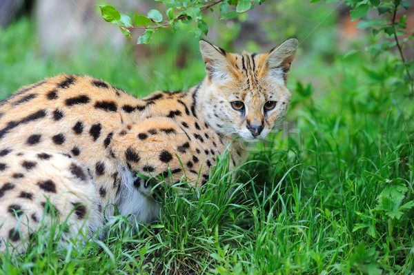 Serval Stock photo © byrdyak