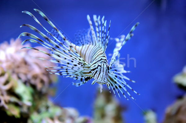 Lionfish Stock photo © byrdyak