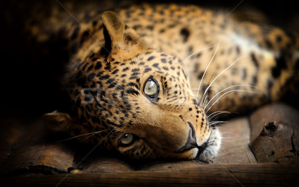 Leopard Stock photo © byrdyak