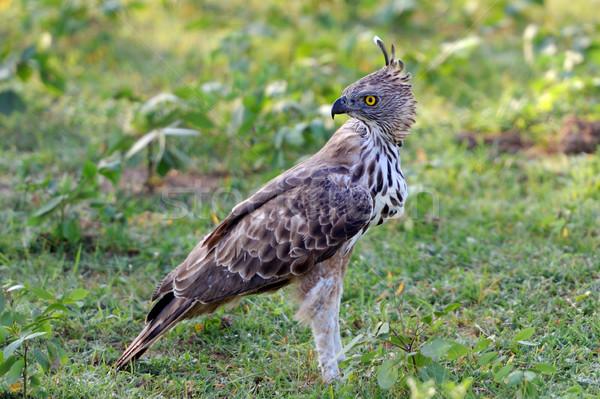 Gras Sri Lanka natuur vogel veer hoofd Stockfoto © byrdyak