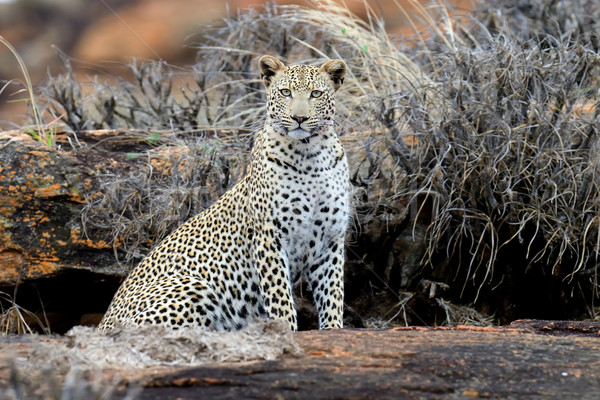 Luipaard park Kenia afrika boom Stockfoto © byrdyak