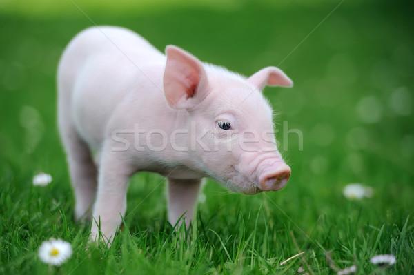 Jovem porco grama primavera grama verde verão Foto stock © byrdyak