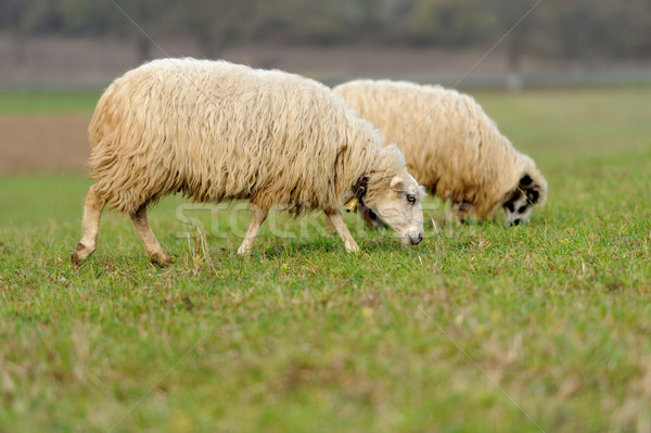 Ovelha rebanho campo primavera verão verde Foto stock © byrdyak