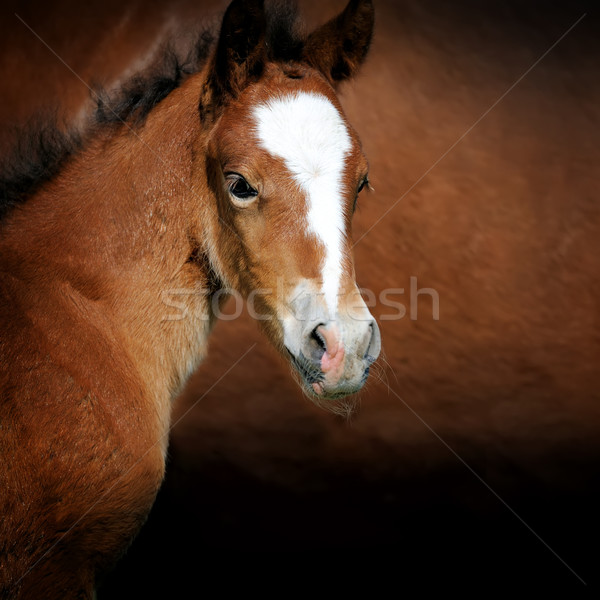 Foal Stock photo © byrdyak