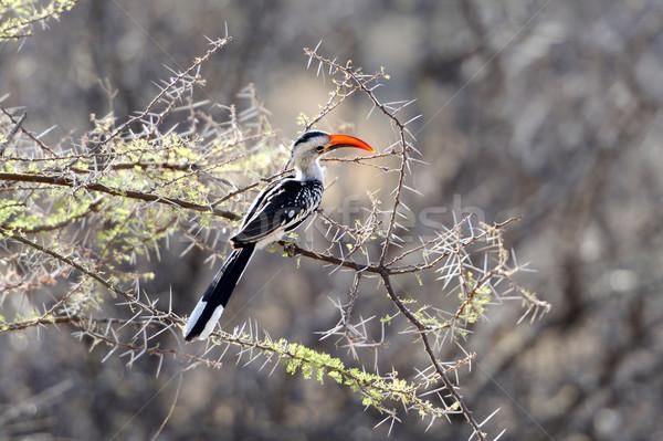 Red-billed Hornbill Stock photo © byrdyak